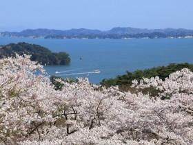 松島 西行戻しの松公園の桜
