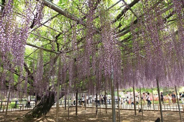 足利フラワーパーク 藤の花