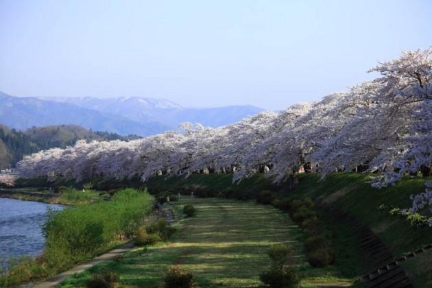 秋田県角館 桧木内川の桜並木